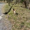 保護犬ホシ 初めての桜