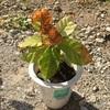 コーヒーの木 葉が枯れ始める