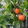 小さな柿がなってます