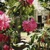 谷中墓地の石楠花