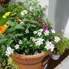 おしゃれ寄せ植えデビュー&部屋に庭花を飾る