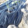 畑づくり ニンニクとキャベツを植える