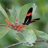自然界でとても目立つ蝶