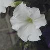 アサガオは咲くの完了したみたいだ。