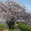 伊勢原渋田川の芝桜と満開の桜との夢のコラボ!!