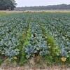 そして、ブロッコリー収穫の手伝いに。