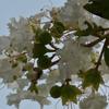 白い百日紅の花