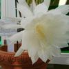 サンガーデンの月下美人が咲きました!その2