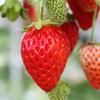 イチゴ(苺)の力・利用法