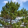 樹木医師の盆栽に魅せられて、其ノ九 「初めての松ぼっくりの採取」