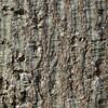 アオギリの樹皮