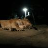 いしかわ動物園のナイトズーに行ったら百獣の王は眠そうだった
