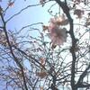 季節はずれの桜!チラシ!朱鳥さん!見仏記!