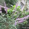 我が家に咲いた『アメジストセージとベゴニア』を見て下さい♪