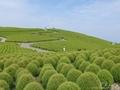 赤だけじゃない!ひたち海浜公園の丘を覆う新緑のコキアも絶景です☆