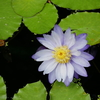 【リアルお花】とても美しいスイレンさん!