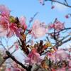 【沖縄旅行】②今帰仁城跡の桜まつりに行く!