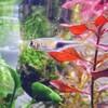 20.小型美魚 ラスボラ ヘテロトルファ