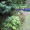 庭の擬宝珠(ギボウシ)