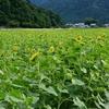福井県小浜のひまわり畑~からの余呉湖!