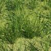 ひとつ目の不耕起田んぼで、目立つ草を抜いておきました。コナギはそのまま…(田植え後7週目)