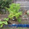 【家庭菜園】ミニゴボウ収穫しました(3回目)