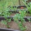 初心者プランター菜園ついに収穫!