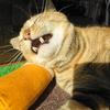 1月前半の #ねこ #cat #猫 どらやきちゃんB