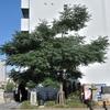 栴檀木橋の『センダンの木』