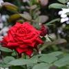 庭に効き色の赤花