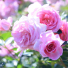 京成バラ園の秋バラ♪小山内健さんが本日ローズガーデンガイドツアーのご担当♪