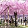 【おでかけ】GWが見頃!曼荼羅寺の江南藤まつり(愛知)に行ってきました!