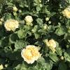 バラ栽培講座(18) 初心者がバラを買うときの考え方