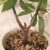 #10 パキラ 枝が木質化