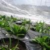 レンタル畑で野菜作り ほうれん草やカブの赤ちゃん