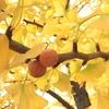 紅葉*イチョウ並木が見頃~( ˙꒳˙ )♥️