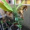 ベランダで『三尺バナナ(サンジャクバナナ)』の鉢植えを栽培してます!