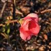 カンボケ(寒木瓜)の花