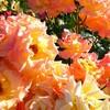 薔薇とクレープ