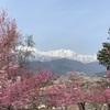 長野県大町市、桜が咲き始めたよ。2019