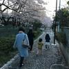 親子3世代 桜の道 散歩