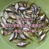 タナゴ釣り2020年第1回霞ヶ浦遠征!春のタナゴ編