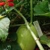 無農薬まくわうり@新潟EMBC複合発酵バイオで栽培する健康農産物