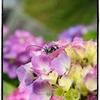 阿弥陀寺の紫陽花:ラスト