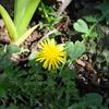 今朝の庭から(西洋タンポポ、ケマンソウ、黄花カタクリ、カリン、フジ)