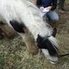 馬のパスポートそして手術後の発熱そしてイースター