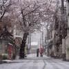 中野の桜③