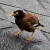 マヌ manu(鳥)