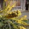 ヒイラギナンテン 蜜を吸っている Mahonia japonica