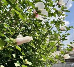 ★白い柔らかそうな花